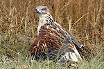 Ferruginous Hawk Mantling