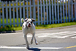 Pit Bull Terrier dog running across street off leash, California