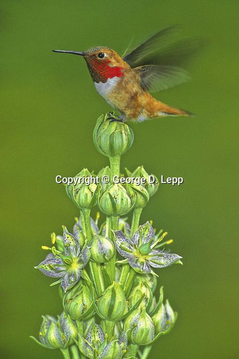 Rufous Hummingbird, San Juans, Colorado, Monument Plant, Green Ginsen
