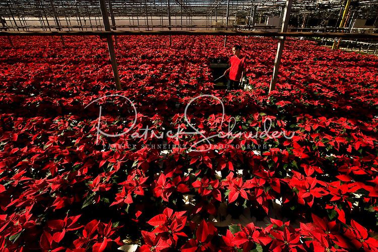 Poinsettias at Metrolina Greenhouse in Charlotte, NC.