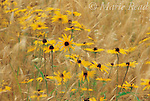 Black-eyed Susans (Rudbeckia hirta) blowing in the wind, New York, USA. Slide # P12-91