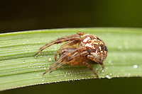 Arabesque Orbweaver (Neoscona arabesca), Ward Pound Ridge Reservation, Cross River, Westchester County, New York