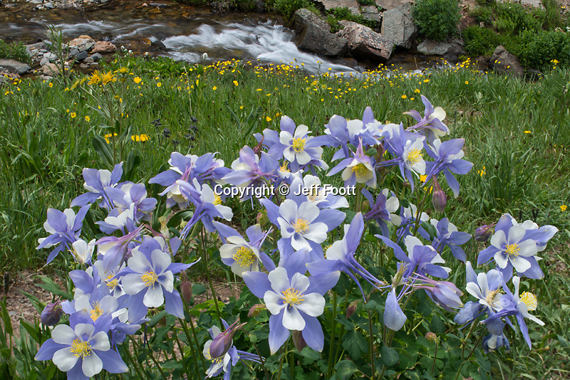 Colorado Blue Columbine,(Aquilegia coerulea) in alpine basin, Colorado.