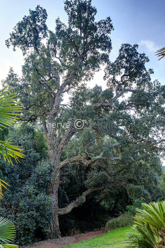 Le domaine du Rayol en février : dans le jardin asiatique, chêne liège (Quercus suber)<br /> <br /> (mention obligatoire du nom du jardin & pas d'usage publicitaire sans autorisation préalable)