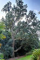 Le domaine du Rayol en f&eacute;vrier : dans le jardin asiatique, ch&ecirc;ne li&egrave;ge (Quercus suber)<br /> <br /> (mention obligatoire du nom du jardin &amp; pas d'usage publicitaire sans autorisation pr&eacute;alable)