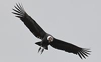 Andean Condor; Vultur gryphus; male; Ecuador, Prov. Pichincha, Reserva Antisanilla