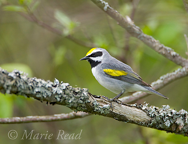 Golden-winged Warbler (Vermivora chrysoptera), male in breeding plumage, Hermon County, New York, USA
