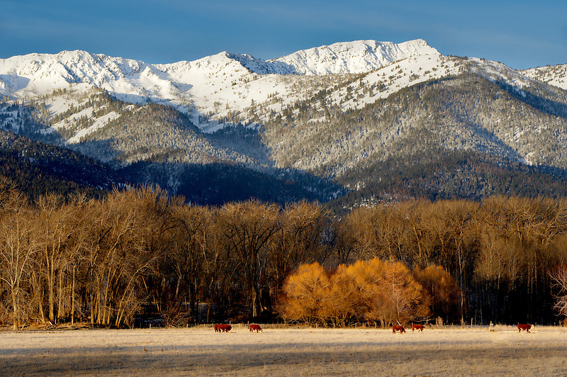 Snowy pasture, cows and Elkhorn Range in winter. Blue Mountains. Oregon