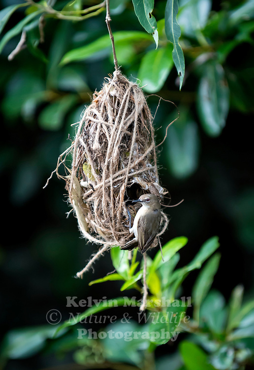 large-billed gerygone (Gerygone magnirostris) is a species of bird in the Acanthizidae family. This particular bird was rescued from having it's nest destroyed by a Butcher bird. In this image you will notice the nest has been constructed with builders rope  Cairns - Far - North Queensland.