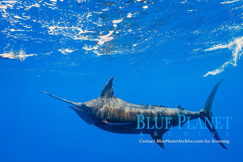 free swimming blue marlin, Makaira nigricans, chasing teaser lure, Vava'u, Kingdom of Tonga, South Pacific Ocean