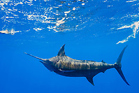free swimming blue marlin, Makaira nigricans, chasing teaser lure, Vava'u, Kingdom of Tonga, South Pacific Ocean