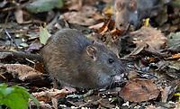 A Common rat, Rattus norvegicus, in undergrowth, Leighton Moss, Silverdale, Carnforth, Lancashire.