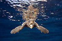 Juvenile loggerhead turtle (Caretta caretta) being released into the wild in Palm Beach, Florida, USA, Caribbean Sea, Atlantic Ocean