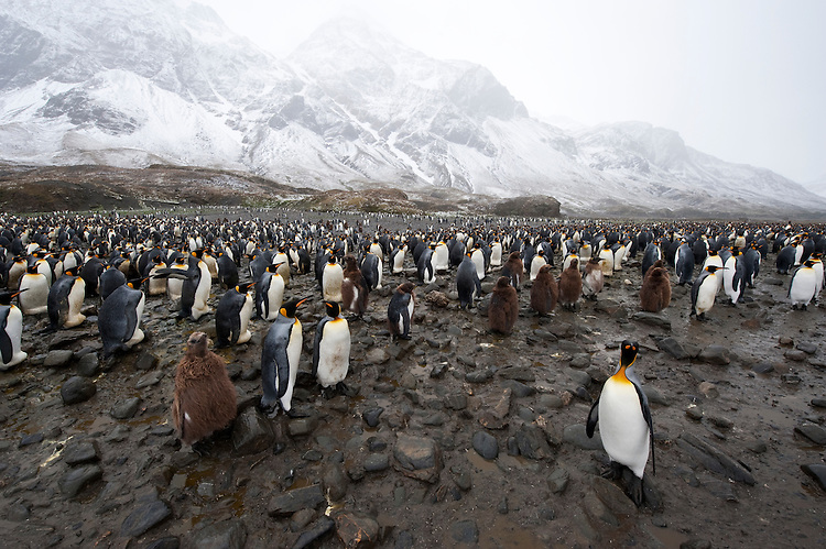 A chick stands amongst a large King Penguin colony (Aptenodytes patagonicus) , Fortuna Bay, South Georgia