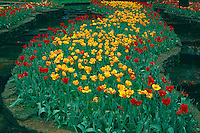 Tulips<br /> Main Garden<br /> Hodges Gardens State Park<br /> Florien, Louisianaa