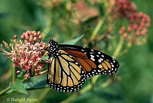MO01-002z  Monarch Butterfly - adult on milkweed - Danaus plexippus