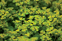 Golden Saxifrage (Chrysosplenium), Mouse Water
