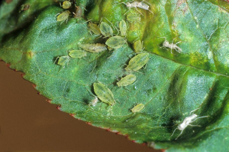 Perzikluis kolonie (Myzus certus)