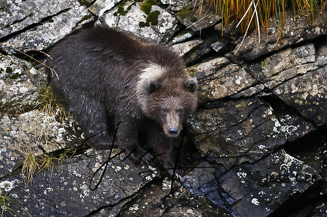 A picture of a grizzly cub standing on some rocks. Grizzly Bear or brown bear alaska Alaska Brown bears also known as Costal Grizzlies or grizzly bears