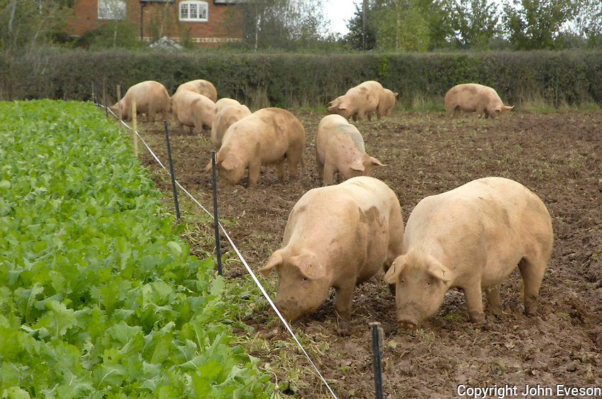 Large White x Landrace sows grazing Typhon stubble turnips, Devon.