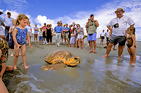 Loggerhead turtle release, Caretta caretta, Florida, Atlantic Ocean
