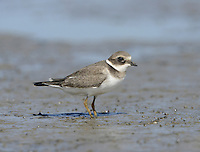 Ringed Plover Charadrius hiaticula- Juvenile L 17-19cm. Small, dumpy coastal wader. Runs at speed before pausing and picking food item from ground. Note white wingbar in flight. Sexes are separable. Adult male in summer has sandy brown upperparts and white underparts with black breast band and collar. Has black and white markings on face, and white throat and nape. Legs are orange-yellow and bill is orange with dark tip. Adult female in summer is similar but black elements of plumage are duller. Winter adult is similar to summer adult but most black elements of plumage are sandy brown, and has pale supercilium. Leg and bill colours are dull. Juvenile is similar to winter adult but breast band is often incomplete. Voice Utters a soft tuu-eep call. Status Locally common. Nests mainly on sandy or shingle beached, sometimes inland. Coastal outside breeding season; numbers boosted by migrants from Europe.