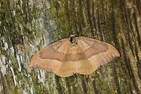 Buchen-Sichelflügler, Watsonalla cultraria, Drepana minor, Drepana cultraria, Barred Hook-tip, Sichelflügler, Drepanidae