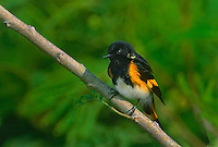 575580004 a wild male american redstart setophaga ruticilla perches on a small tree branch on a private ranch in the rio grande valley of south texas