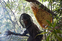 Giants Honey Bees in Borneo