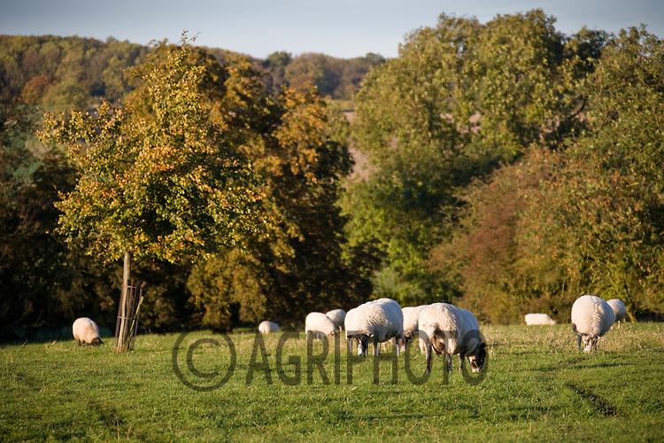 3.11.2010 Autumn Landscape showing sheep grazing in parkland  ©Tim Scrivener/agriphoto.com