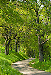 An oak-line country road through the foothill oaks in spring, Amador County, Calif..