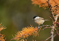 Marsh Tit (Poecile palustris), adult perched on autumn branch of European Larch (Larix decidua), Oberaegeri, Switzerland, Europe
