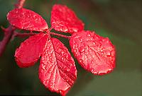 Braam (Rubus fructicosus)