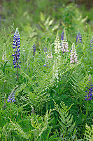 Multi colored lupine with ferns