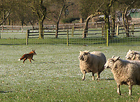 Texel cross ewes are suprised by a fox on Peter Chandler's Heybridge Farm, Lower Tean, Stoke-on-Trent.