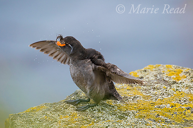 Crested Auklet (Aethia cristatella) adult in breeding plumage, flapping its wings, St. Paul Island, Pribilofs, Alaska, USA