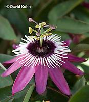 0904-0814  Purple Passion flower, Passiflora spp. © David Kuhn/Dwight Kuhn Photography.