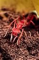 Bull Ant (Myrmecia pavida) Family Formicidae, reddish colour, 27 mm long. Sydney, NSW