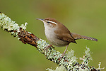 Bewick's Wren (Thryomanes bewickii) perched on a branch, Victoria, BC, Canada.
