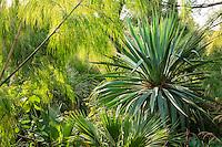 Domaine du Rayol en novembre : dans le jardin d'Amérique subtropicale, Otatea acuminata (bambou  du Mexique),  Yucca aloifolia (?), Pinus montezumae