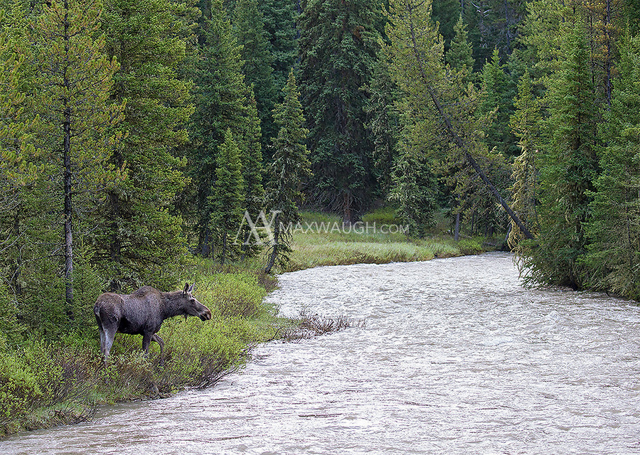 This young moose was hanging out near a cow and twin calves. Mom didn't appreciate the company.