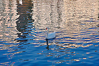 Mute Swan swimming in reflection of buildings on Reuss River, Lucerne, Switzerland