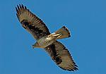 Adult Bonelli´s Eagle soaring, Andalucia Spain. (Aquila fasciata )