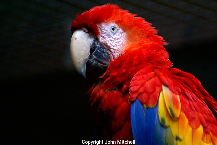 Scarlet Macaw (Ara macao )at the Macaw Mountain Bird Park, Copan, Honduras. The scarlet macaw is an endangered species and the national bird of Honduras.               .