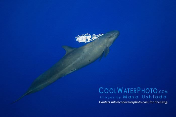 false killer whale, Pseudorca crassidens, blowing bubbles to startle a tuna hiding under the FAD (Fish Aggregation Device), off Kohala Coast, Big Island, Hawaii, USA, Pacific Ocean