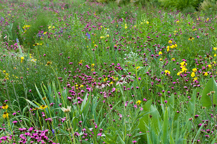 A mixed prairie-meadow planting featuring Echinacea pallida, Echinacea paradoxa, Dianthus carthusianorum, and Oenothera macrocarpa, end June.