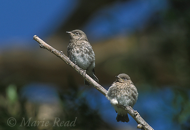 Mountain Bluebird (Sialia currucoides) two fledglings, Mono Lake Basin, California, USA<br /> Slide # B136-493