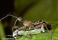1M27-010d   Assassin Bug eating chinese praying mantis nymph