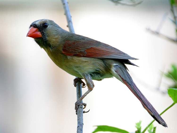 Adult female northern cardinal