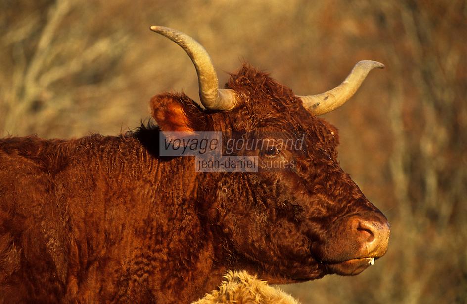 Europe/France/Auverne/63/Puy-de-Dôme/Monts du Cézallier: Vache de Race Salers en pâturage